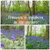 La fioritura dei Bluebells in Inghilterra