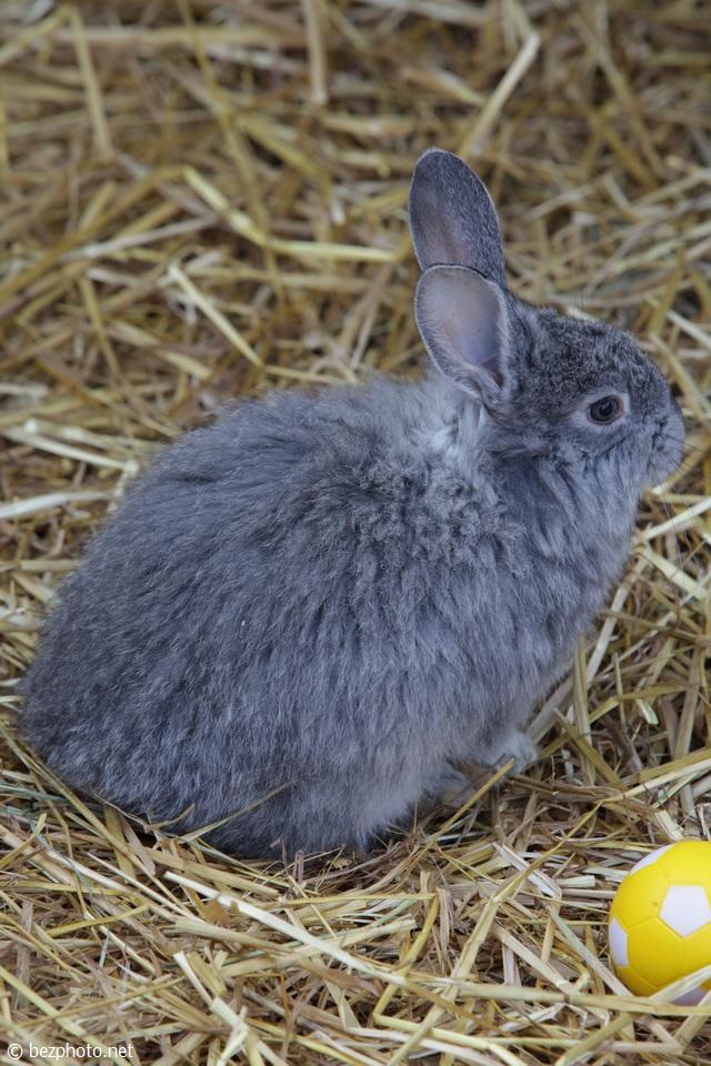 серый кролик фото