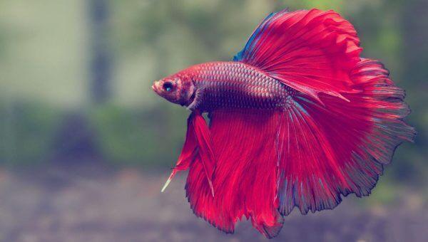 Image poissons combattants, Betta splendens, combattant du Siam