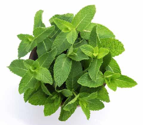 cara menghilangkan bekas jerawat secara alami dengan daun mint