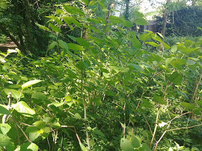 Photograph of Japanese knotweed in the Gobions Open Space woods. Image by North Mymms News released under Creative Commons BY-NC-SA 4.0