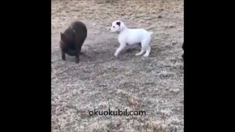 Domuz yavrusu İle köpek yavrusu.