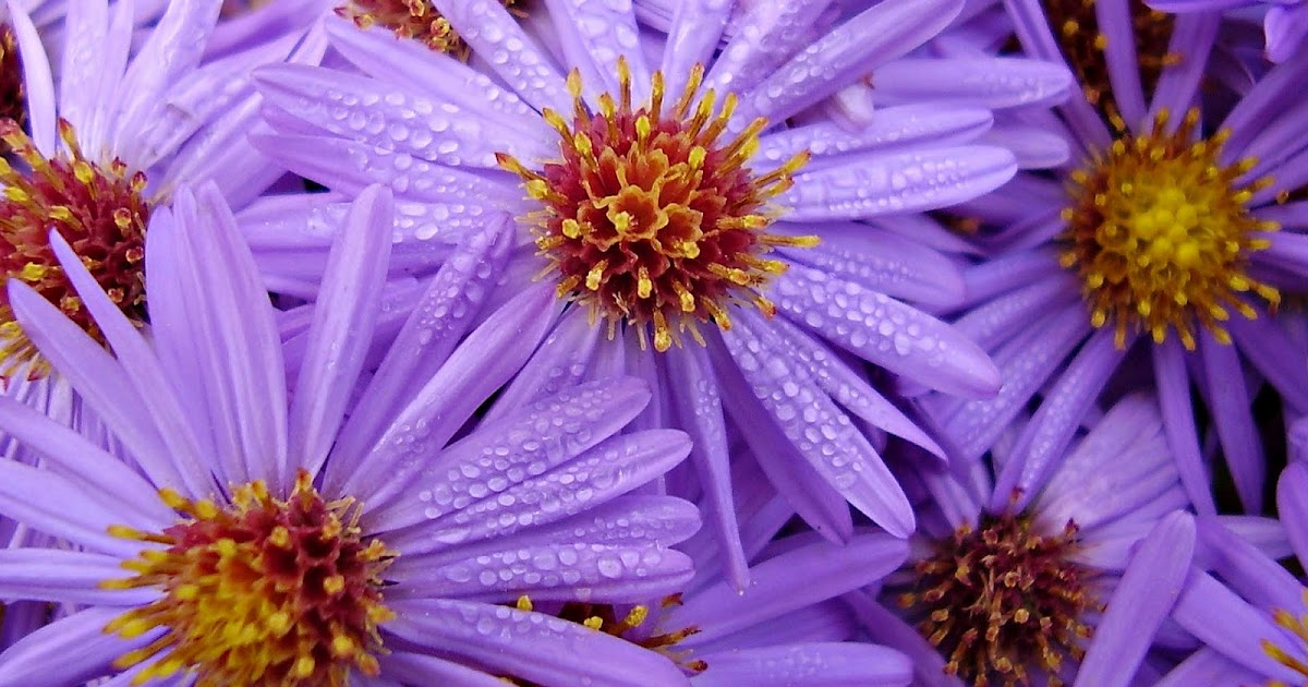 Achtergrond met paarse bloemen  Bureaublad Achtergronden