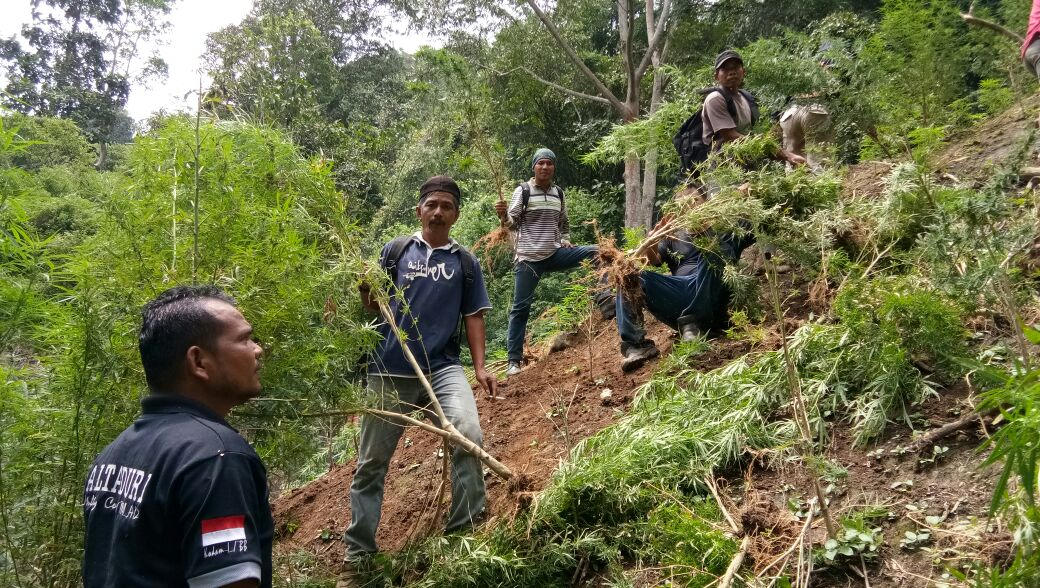 petugas saat mengamankan ladang ganja di Madina.