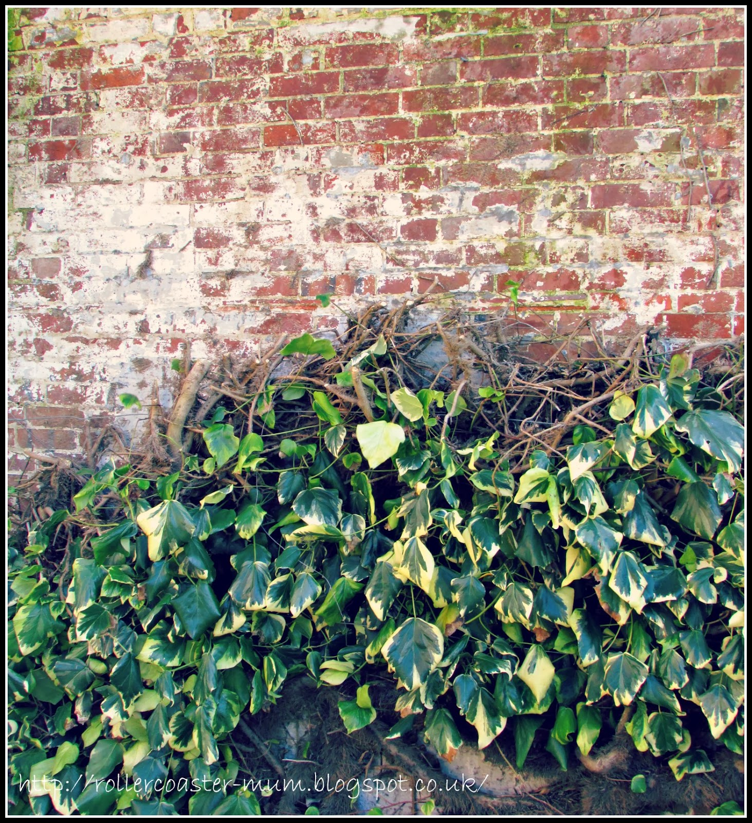 wall grown variegated ivy
