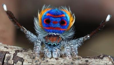 Tarian Pelangi Pemikat Laba-laba Merak Kecil