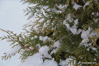Thuja occidentalis 'Brabant'
