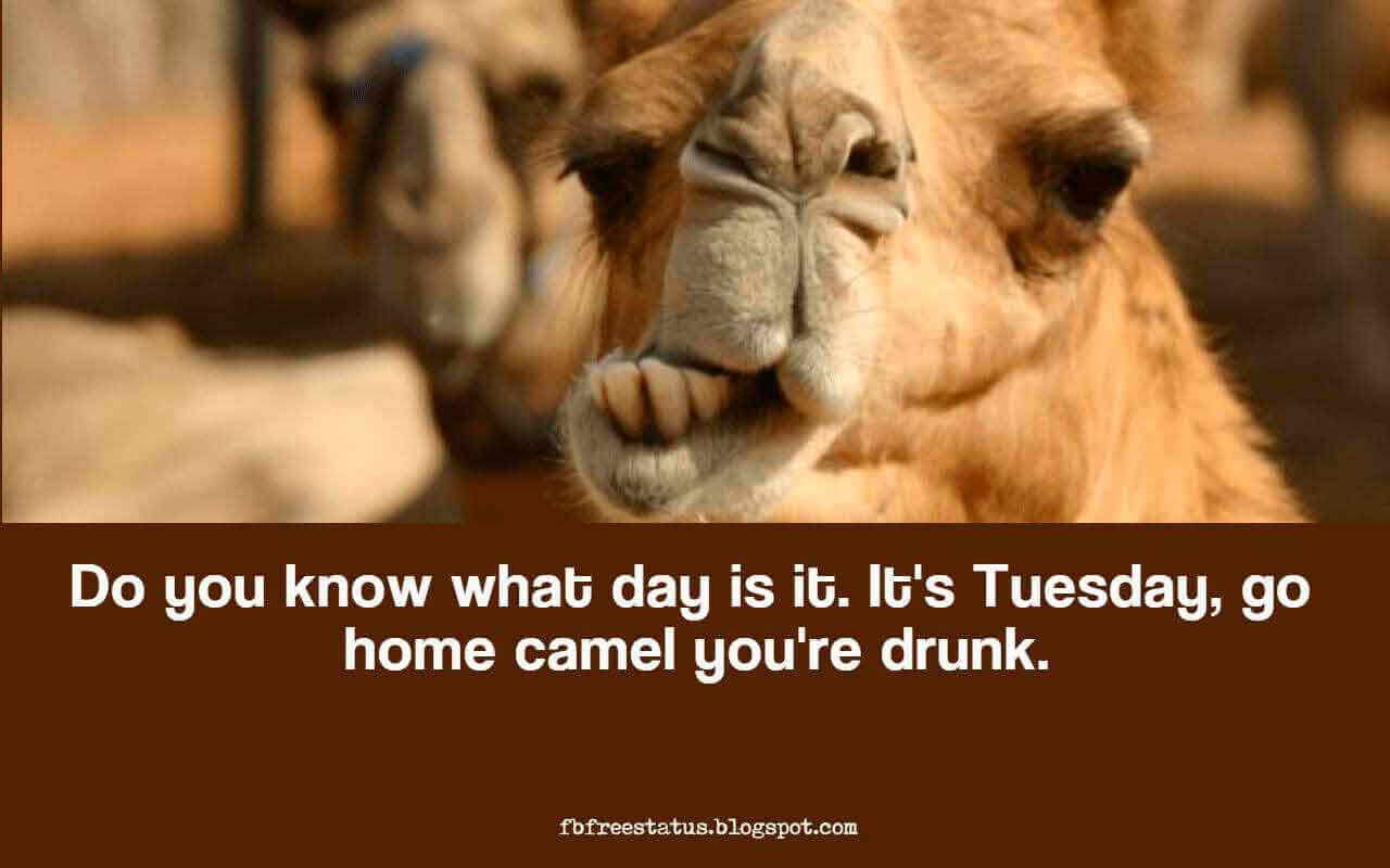 Do you know what day is it. It's Tuesday, go home camel you're drunk.