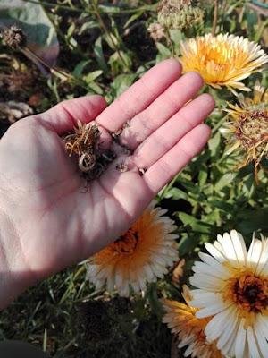 coltivare la calendula e conservare i semi