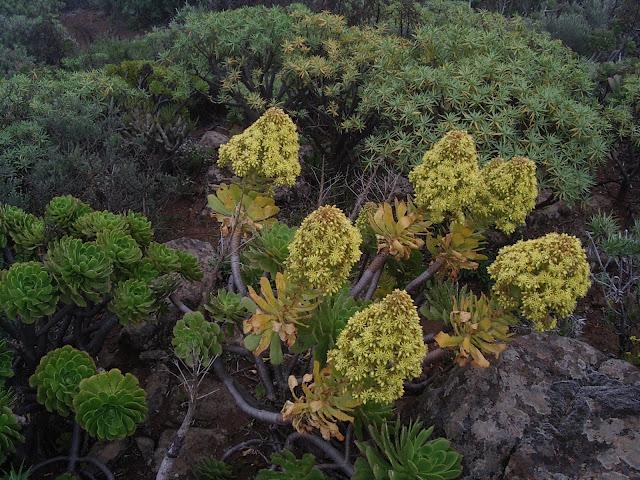 Aeonium arboreum subsp. arboreum x percarneum 08