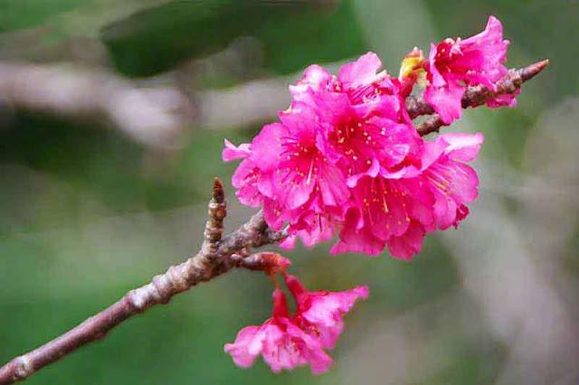 Close-up of sakura at tip of a branch