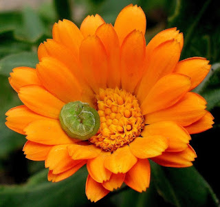 green caterpillar on calendula flower photo
