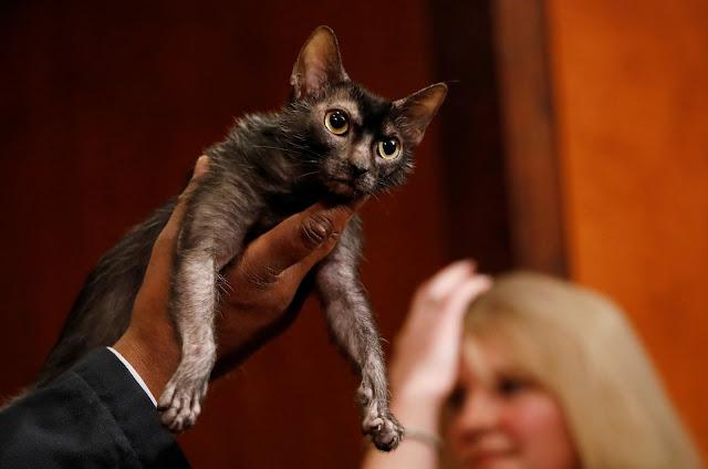 Gato Lykoi é apresentado nesta quarta-feira (10) em Nova York (Foto: Shannon Stapleton/Reuters)