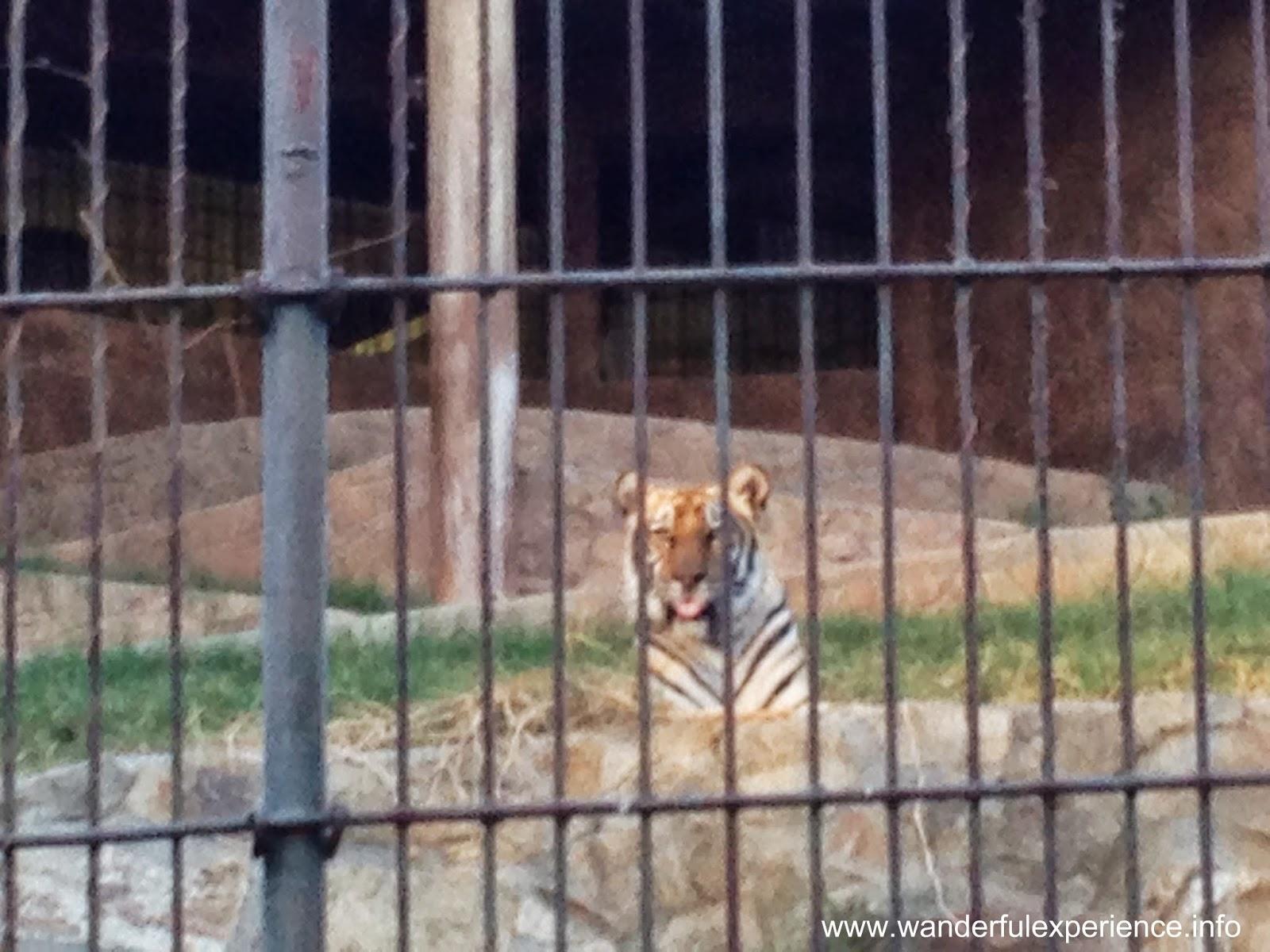 Siberian bengal tiger at Baluarte