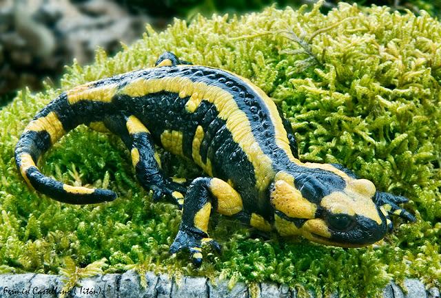 Salamandra común (Salamandra salamandra)