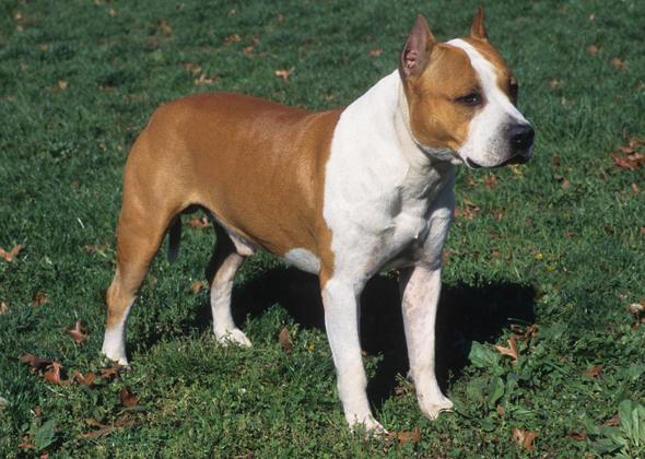American Kennel Association Dog Breeds