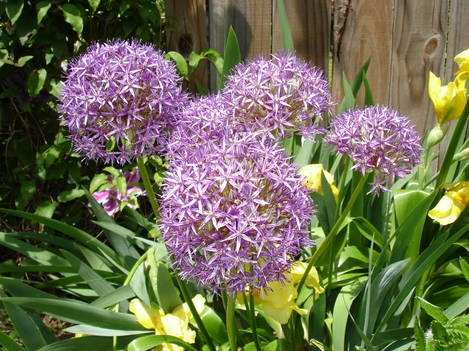 Pictures Of Perennial Flowers And Names   Insured By Laura