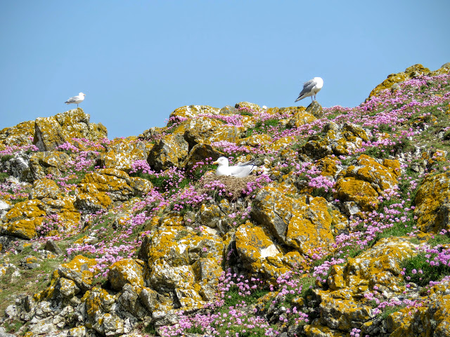 Day trip to Ireland's Eye Island - seagulls, wildflowers, and lichen
