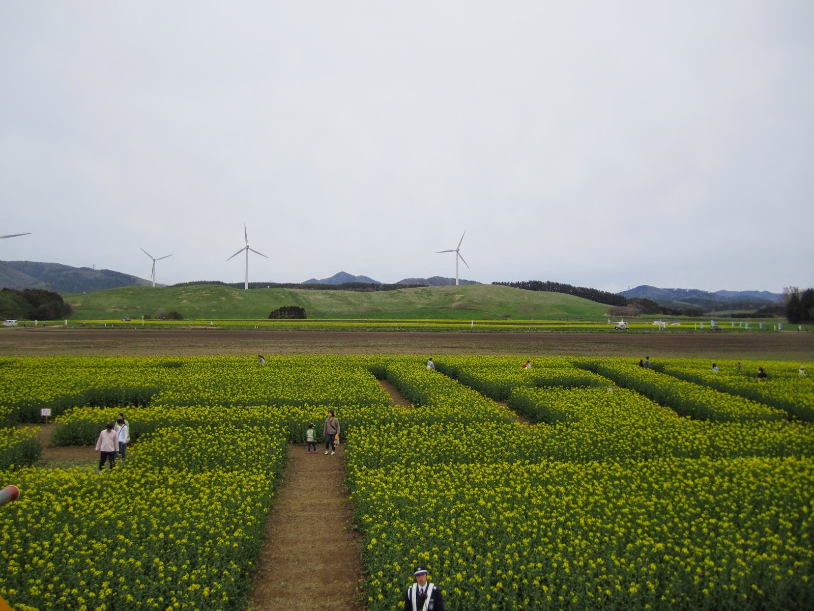 Canola Maze (2013 Canola Festival in Yokohama) 菜の花大迷路 2014菜の花フェスティバルinよこはま
