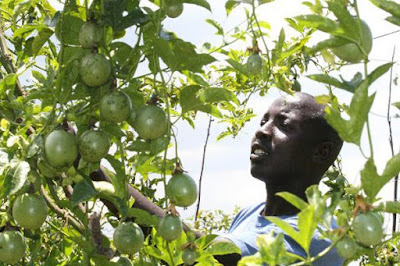 passion fruit farming in Kenya