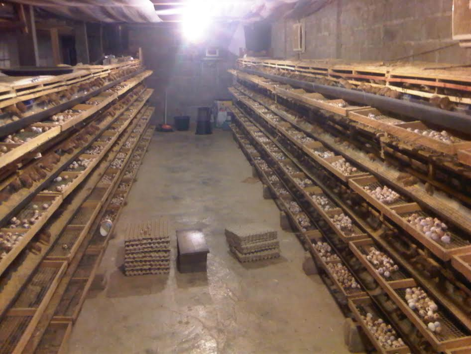Keuntungan Beternak Puyuh 1000 Ekor Asik Beternak Belajar Beternak