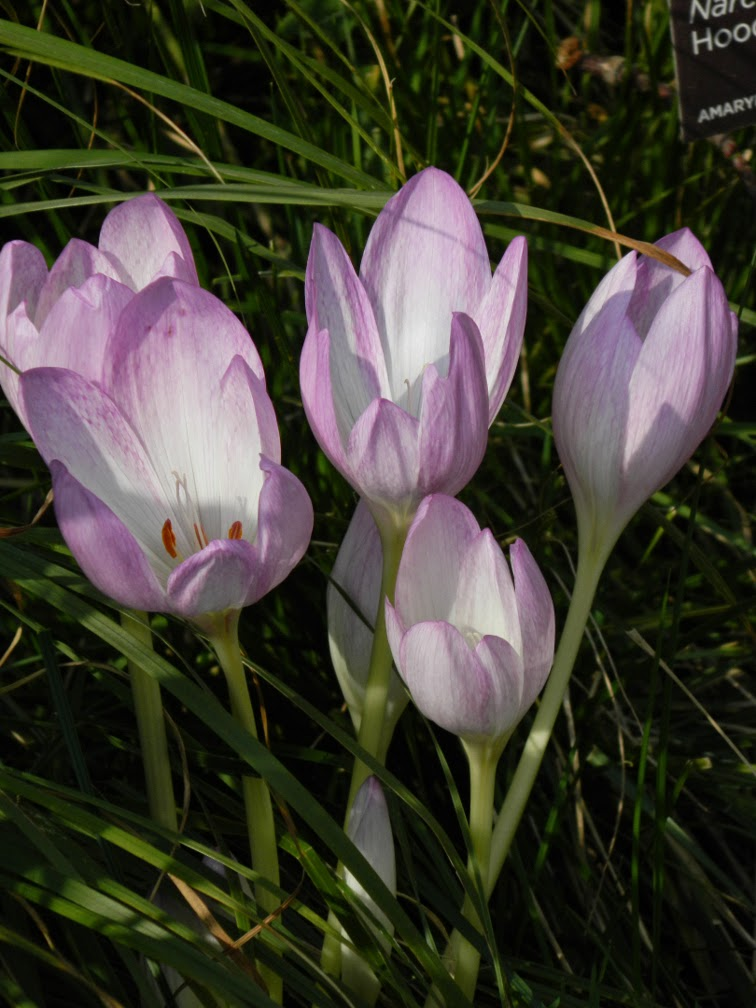 Autumn crocus colchicum autumnale at Toronto Botanical Garden by garden muses-not another Toronto gardening blog
