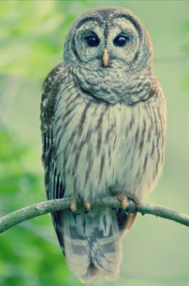 Gambar Burung Hantu Yang Lucu