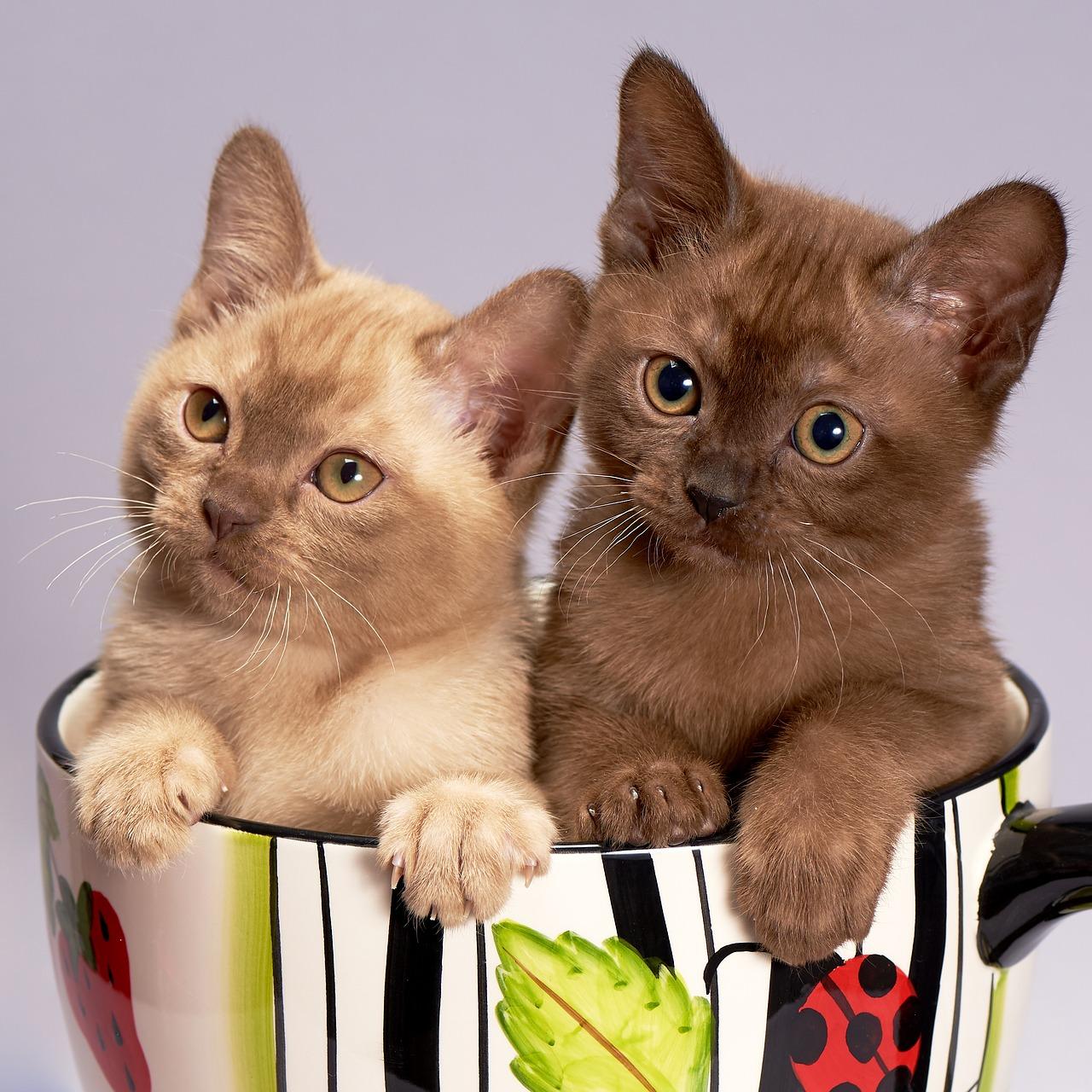 Gambar Kucing El Gebu Koleksi Gambar HD