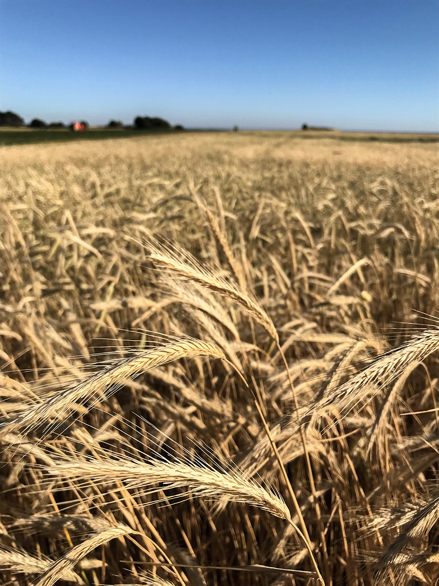 Korn eller råg?