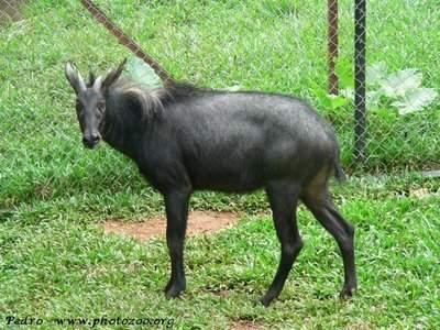 Gambar Binatang Kambing Sumatera