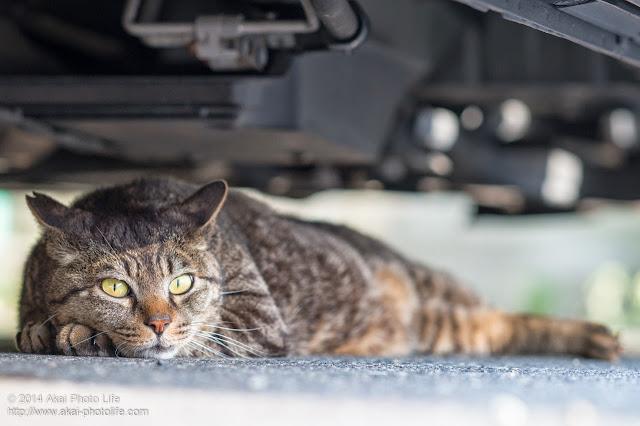 車の下に隠れてこっちをみている猫
