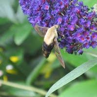 http://kimbennett.blogspot.com/2011/08/hummingbird-sphinx-moths.html
