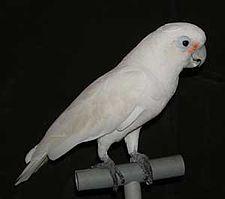 Dikenal di dunia internasional dengan nama  Mengenal Burung Kakatua Tanimbar