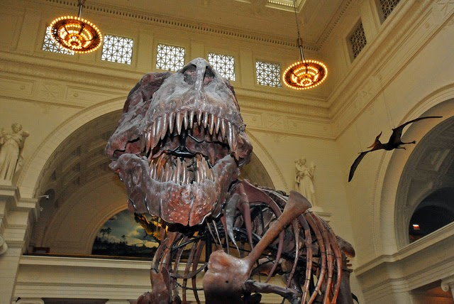"Photograph of ""Sue"", a Tyrannosaurus Rex at the Field Museum of Natural History in Chicago, IL."