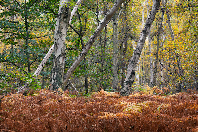 Silver birch trees stand among red ferns at Holme Fen nature reserve
