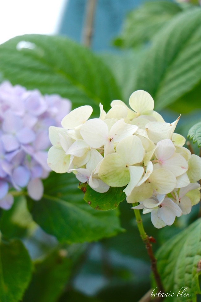 white-and-blue-hydrangea-blooms-on-same-plant