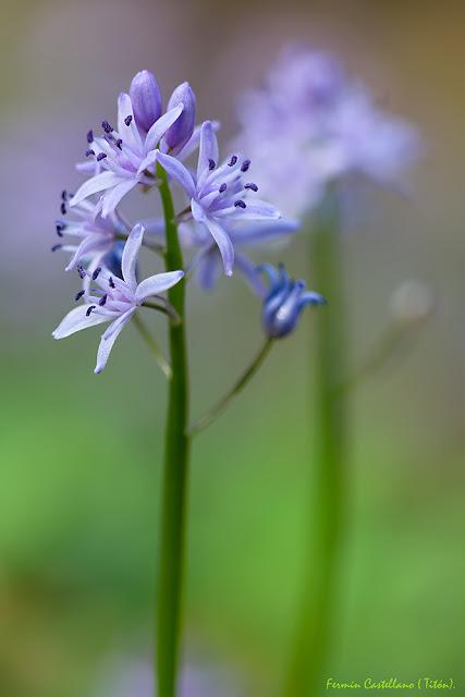 Jacintos estrellados (Scilla lilio-hyacinthus)