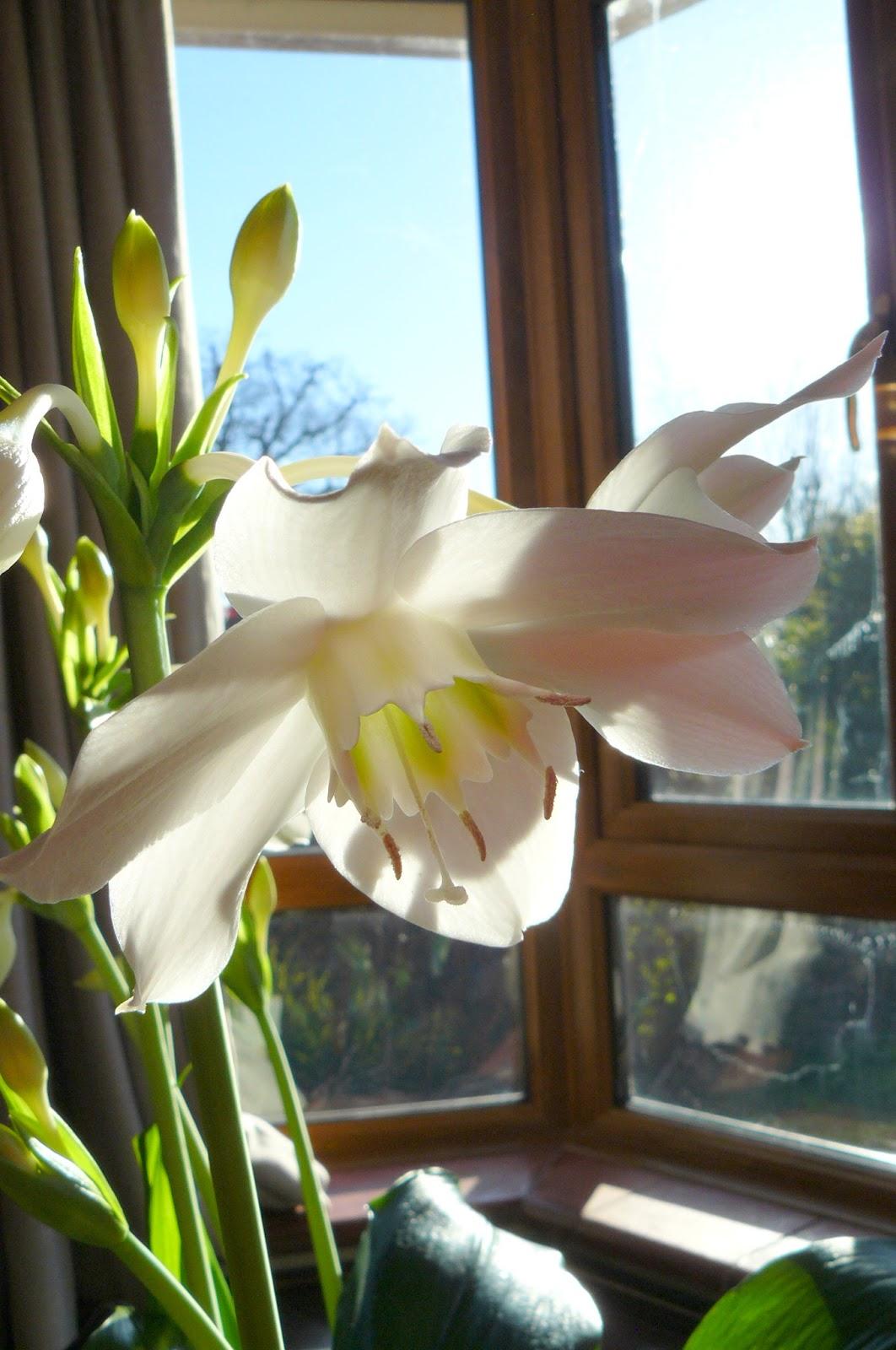 Peter Lovetts Ramblings Eucharis Amazonica Amazon Lily