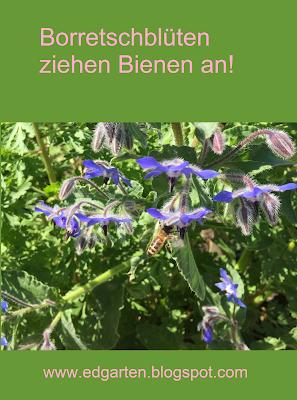 Pin Stahlblaues Gurkenkraut mit Biene