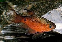 barbir Ikan Hias Air Tawar Yang Bisa Dicampur Pada Satu Akuarium