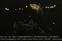 Guppy Full Black,