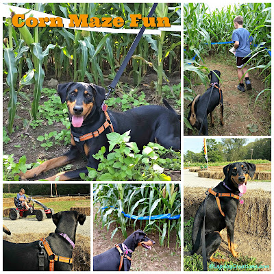 doberman puppy at corn maze