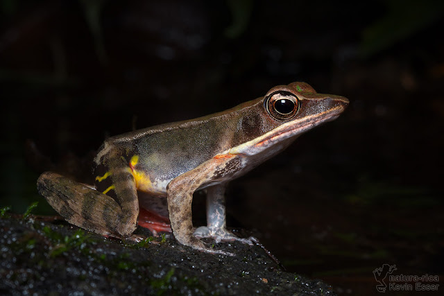 Lithobates warszewitschii - Brilliant Forest Frog