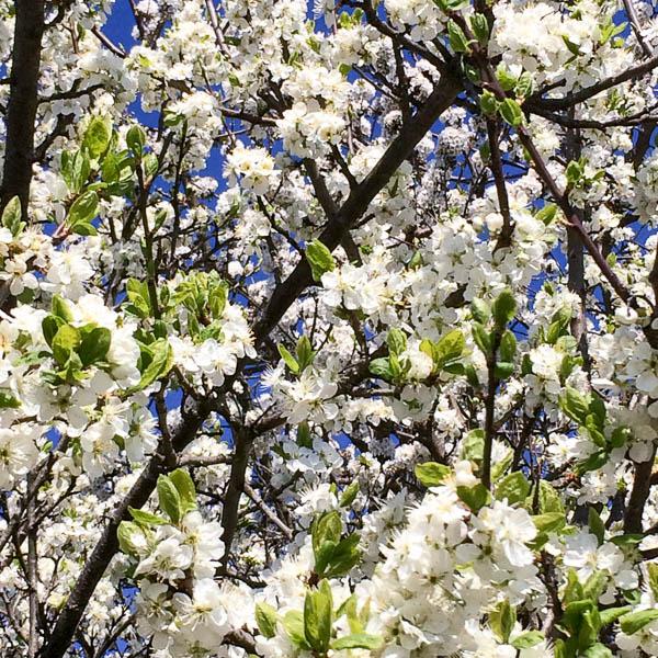 blommande_träd