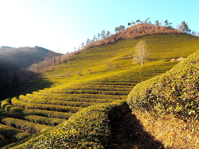 Green tea plants on the hill in Boseong Green Tea Plantation, South Korea