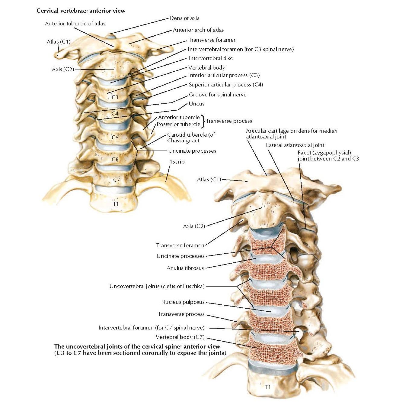 Cervical Vertebrae: Uncovertebral Joints Anatomy