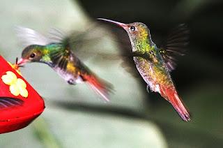 Nektar alami yang tahan lama untuk burung kolibri