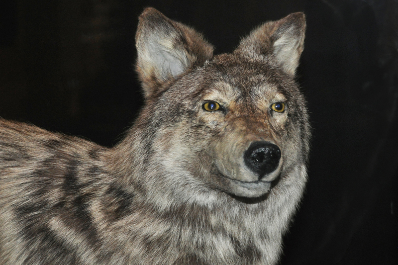 Newfoundland Wolf: WOLF HYBRID PUPPIES FOR SALE IN OHIO