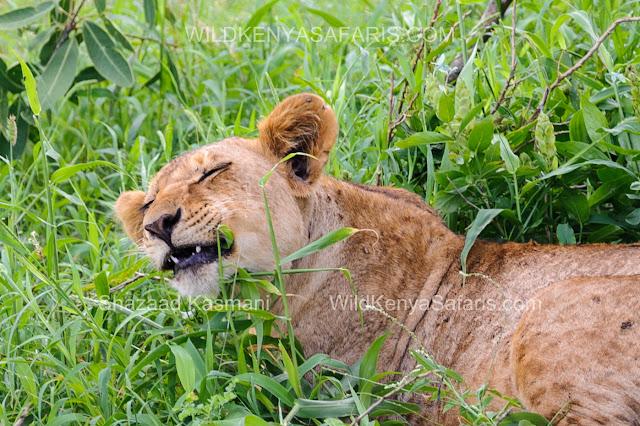 Wild Kenya Safaris, www.wildkenyasafaris.com, Lioness Tsavo East, Tsavo East Safari, Safari Kenya, safari from diani beach, safari from nairobi, safaris from mombasa, wildlife kenya, safari kenya, natural world kenya, dream kenya, nature safaris kenya, satao camp, ashnil lodge, tahri camp, lion hill lodge, voi wildlife lodge, voi safari lodge, ndololo camp, taita hills, saltlick lodge, ngutuni lodge, reisen kenia, safari kenya, safari tsavo ost, wildlife filmaker kenya, wildlife photographer kenya