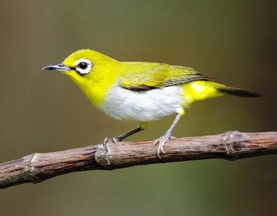 Foto Burung Pleci